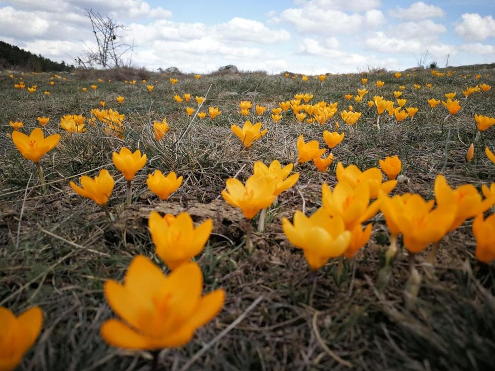 Baharın habercisi çiğdem çiçeklerini hayranlıkla görüntülediler