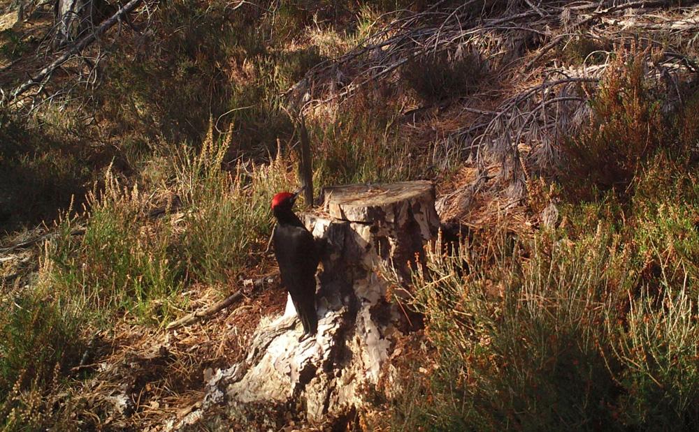 Kara Ağaçkakan Tekirdağda Görüntülendi