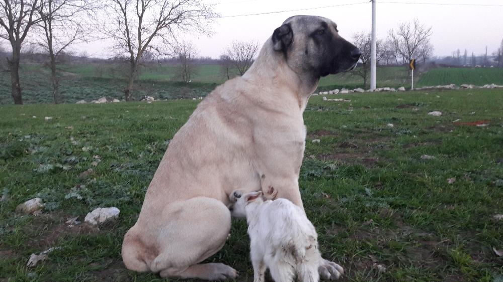 Köpek annesi ölen keçiyi her gün emziriyor
